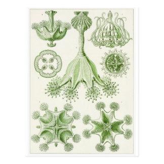 Ernst Haeckel Art Postcard: Stauromedusae Postcard
