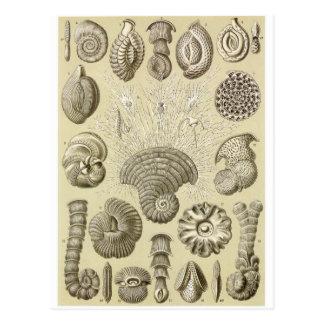 Ernst Haeckel Art Postcard: Thalamophora Postcard