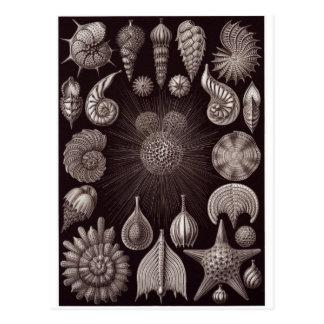 Ernst Haeckel Art Postcard: Thalamphora Postcard