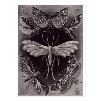 Ernst Haeckel Art Postcard: Tineida Postcard