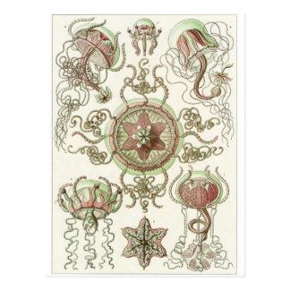 Ernst Haeckel Art Postcard: Trachomedusae Postcard