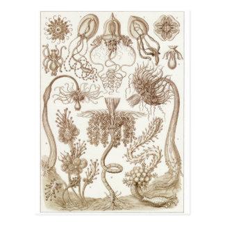 Ernst Haeckel Art Postcard: Tubulariae Postcard