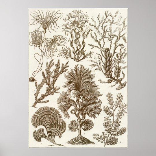 Ernst Haeckel Art Print: Fucoideae Poster