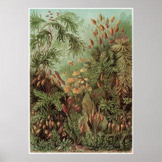 Ernst Haeckel Art Print: Muscinae Poster