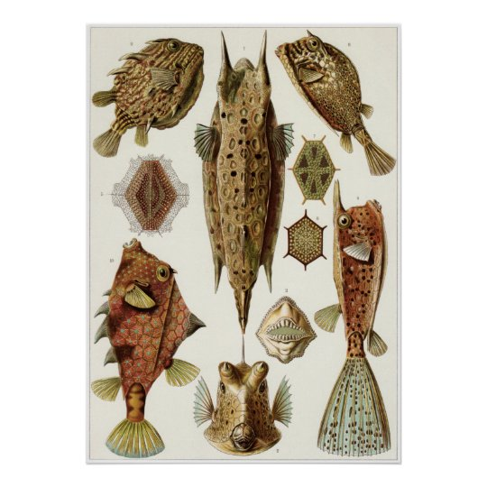 Ernst Haeckel Art Print: Ostraciontes Poster