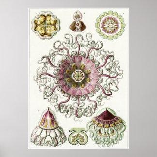 Ernst Haeckel Art Print: Peromedusae Poster