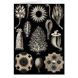 Ernst Haeckel Calcispongiae Card