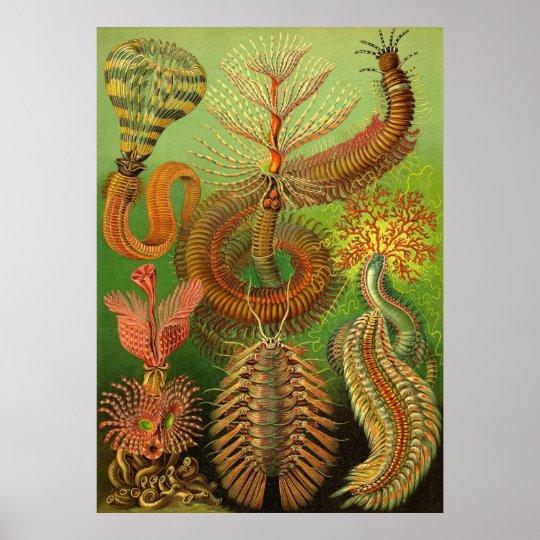 Ernst Haeckel - Chaetopoda Poster