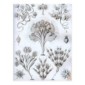 Ernst Haeckel Flagellata Postcard