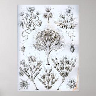 Ernst Haeckel Flagellata Poster
