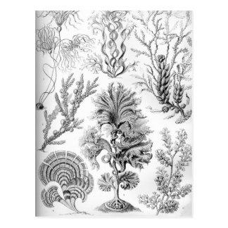 Ernst Haeckel Fucoideae weeds! Postcard