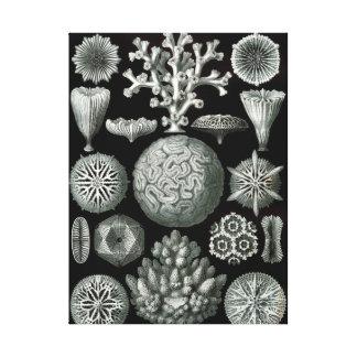 Ernst Haeckel Hexacorallia Coral Canvas Print