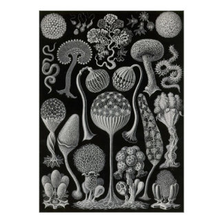 Ernst Haeckel - Mycetozoa Poster