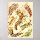 Ernst Haeckel - Nudibranchia Poster