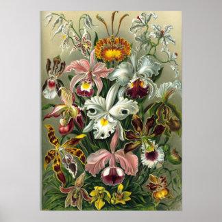 Ernst Haeckel - Orchidae Print