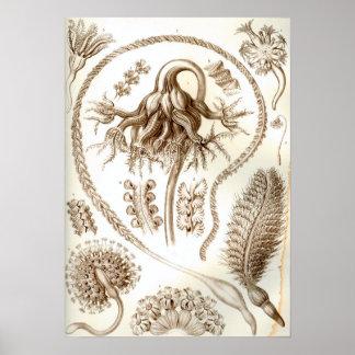 Ernst Haeckel Pennatulida Coral Poster