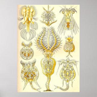 Ernst Haeckel - Rotatoria Poster