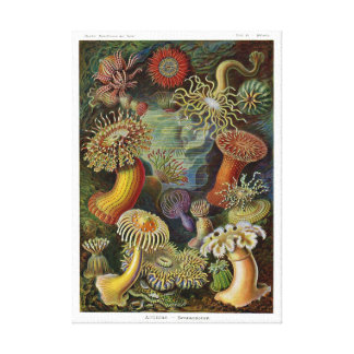Ernst Haeckel Sea Anemones Canvas Print