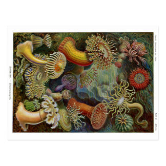 Ernst Haeckel Sea Anemones Postcard