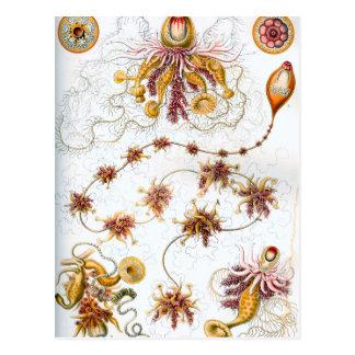 Ernst Haeckel Siphonophorae Jellyfish Postcard