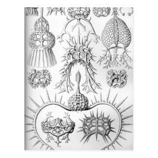 Ernst Haeckel  Spyroidea Sea Creatures Postcard