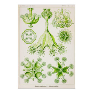 Ernst Haeckel Stauromedusae Stalked Jellyfishes Print