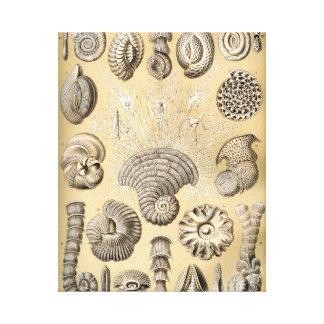 Ernst Haeckel Thalamophora shells Canvas Print