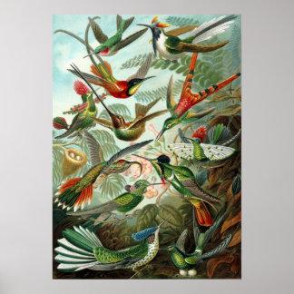 Ernst Haeckel - Trochilidae Poster
