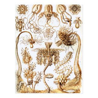 Ernst Haeckel Tubulariae Postcard