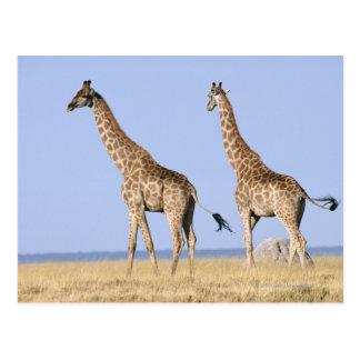 Etosha National Park, Namibia Postcard