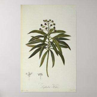 Euphorbia Mellifera Poster