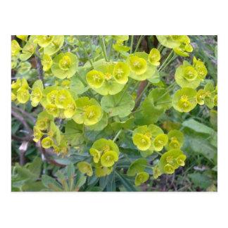 Euphorbia Postcard