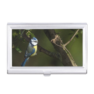 Eurasian blue tit, cyanistes caeruleus case for business cards