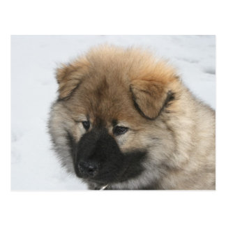 Eurasier Puppy Postcard