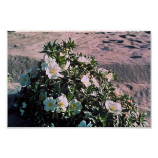 Eureka Evening Primrose Poster