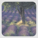 Europe, France, Provence, Sault, Lavender Stickers