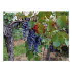 Europe, France, Roussillon. Vineyards, with Poster