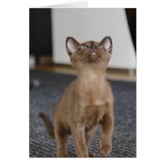 european burmese kitten card
