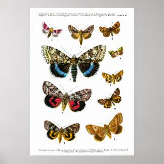 European Butterflies (Plate 16) Poster