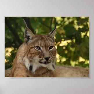 European Lynx Poster