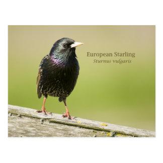 European Starling Postcard