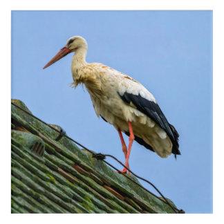 European white stork, ciconia acrylic print