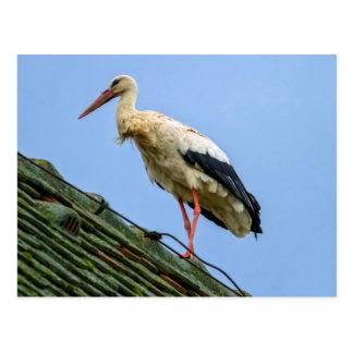 European white stork, ciconia postcard
