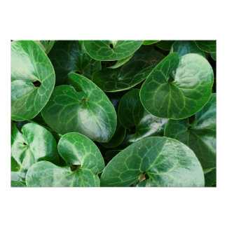 European Wild Ginger Glossy Green Leaves Close Up Poster