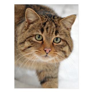 European Wildcat Postcard