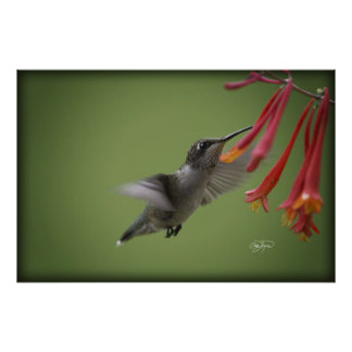 Evening Snack Ruby Hummingbird with Red Flowers Poster