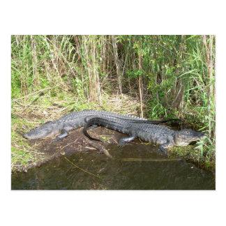 Everglades - alligator postcard