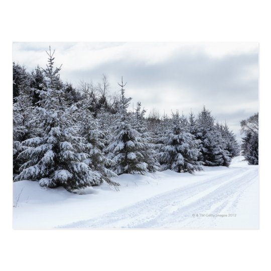 Evergreen trees and road in snow postcard