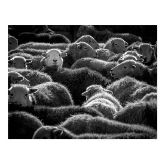 Ewes in Black and White Postcard