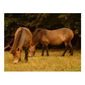 Exmoor Ponies Postcard